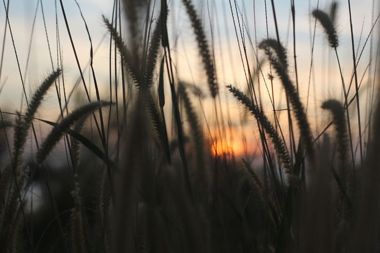 Close-up of stalks in field at sunset