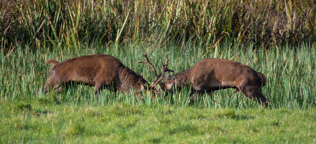 Side View Of Moose On Field