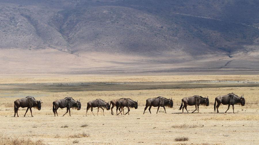 Wildebeest walking on landscape