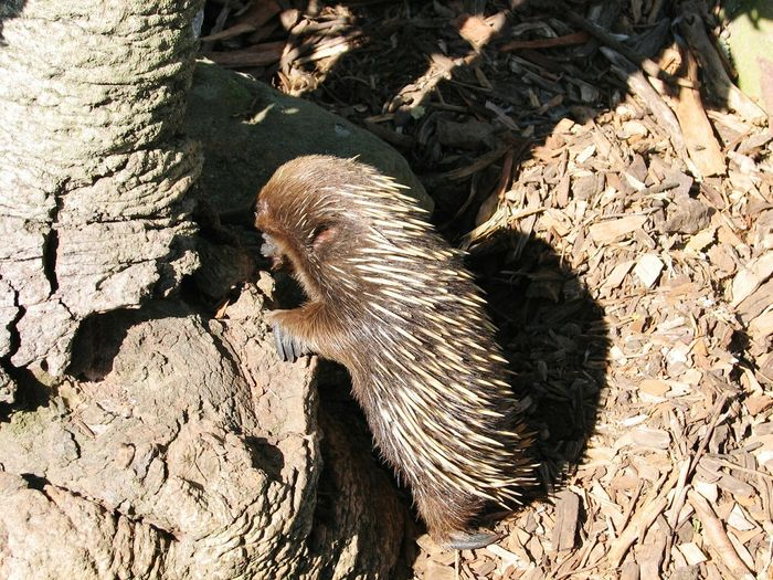 Echidna Zoo Spiny Anteater Egg-laying Mammal Marsupial