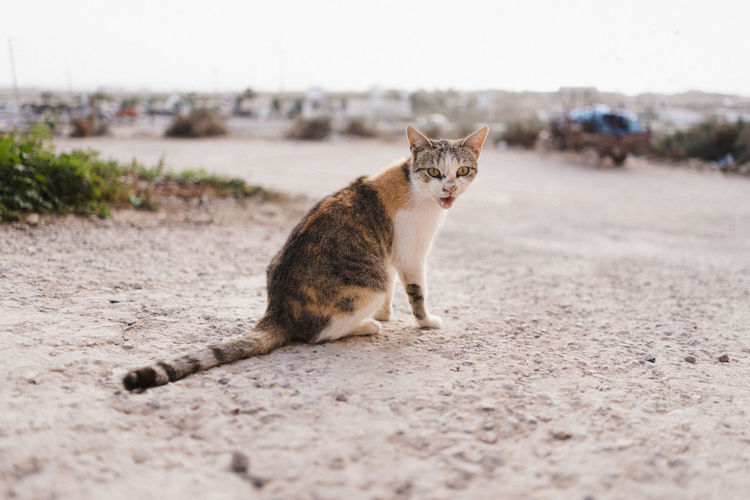 Cat on Morocco streets Africa North Africa Morocco One Animal Mammal Pets Domestic Cat Domestic Cat Looking At Camera Domestic Animals Feline Portrait Vertebrate Day Nature No People City Land Selective Focus Mouth Open Whisker Morocco Landscape