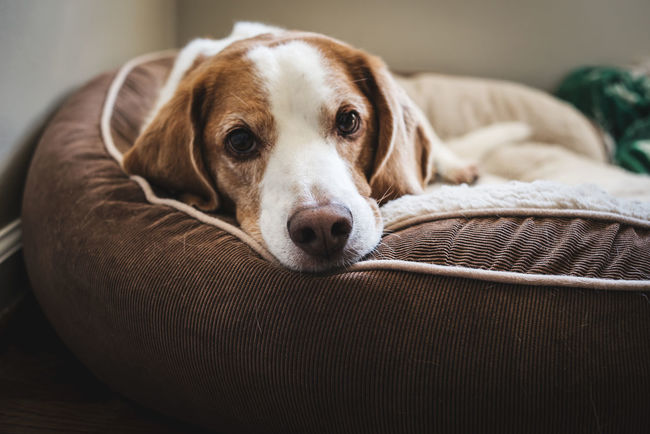 Pets Looking At Camera Dog Portrait Lying Down Close-up Domestic Animals Beagle Old Dog Indoors