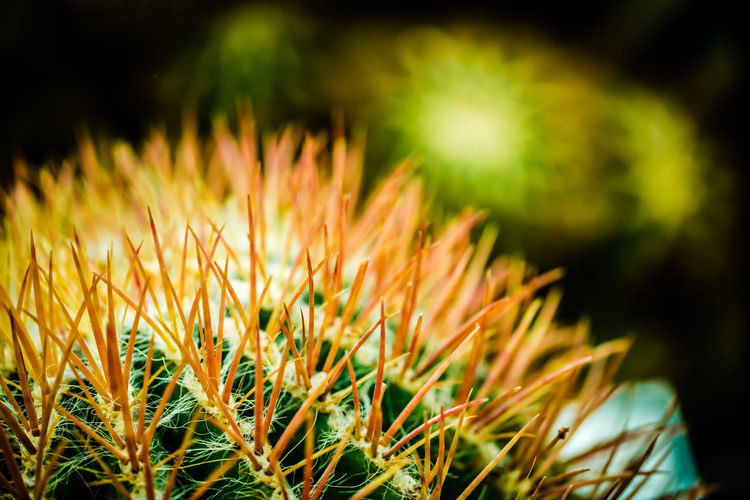 A Prickly Individual Beauty In Nature Botany Cactus Close-up Nature Photography Desert Plants Focus On Foreground Fragility Freshness Garden Green Green Color Maximum Closeness Growth Hardy Plants Nature Outdoors Plant Prickly Scenics Selective Focus Spikes Spines Tranquility Yellow