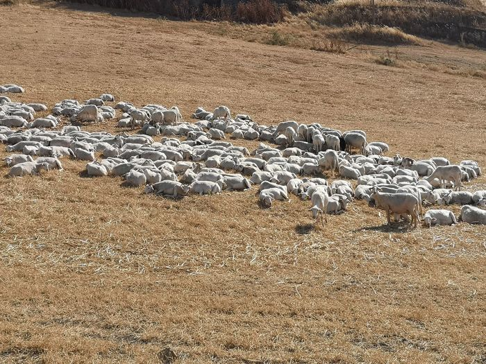 Sheep Flock Of