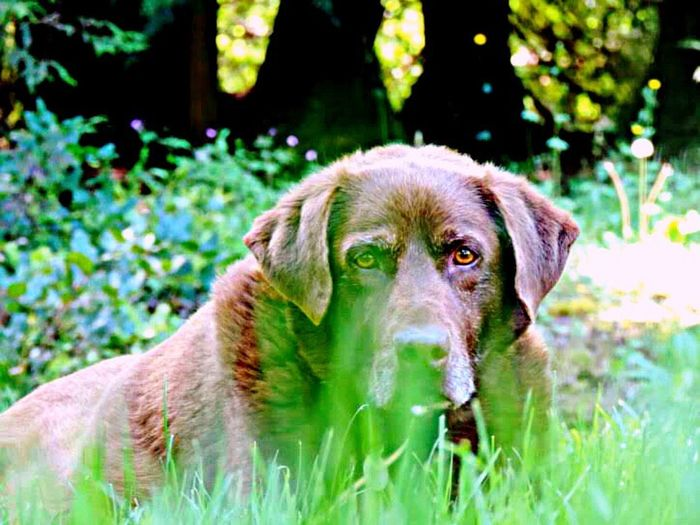 Dog Pets Animal Grass One Animal Domestic Animals Puppy Outdoors Cute Animal Themes No People Labrador Retriever Mammal Portrait Day Young Animal Friendship Nature Close-up