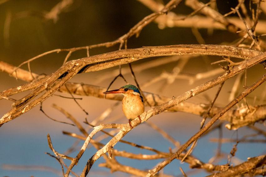Caprivi Caprivistrip Kingfisher Malachite Kingfisher Namibia