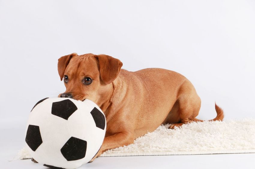 mixed brown dog is lying in the studio with a football in his mouth FUNNY ANIMALS Football Funny Labrador Lying Playing With The Animals Studio Animal Ball Brown Dog Domestic Animals Fan Indoor Mammal Mixed No People Pets Play Playing Soccer Soccer Ball Sport Toy