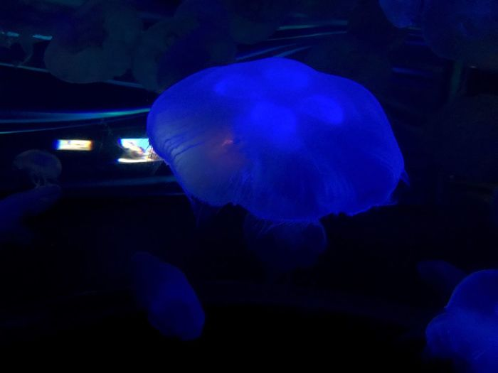 Jellyfish Underwater Sea Life Swimming Blue Water Indoors  No People Floating In Water Aquarium Close-up Animals In The Wild Animal Themes Illuminated UnderSea Beauty In Nature L. Jeffrey Moore Nature IPhone 7 Plus
