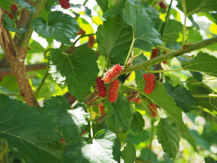 Mulberry Mulberry Tree Fruit Leaf Nature Growth Green Color Outdoors Day No People Plant Beauty In Nature Freshness Close-up Food