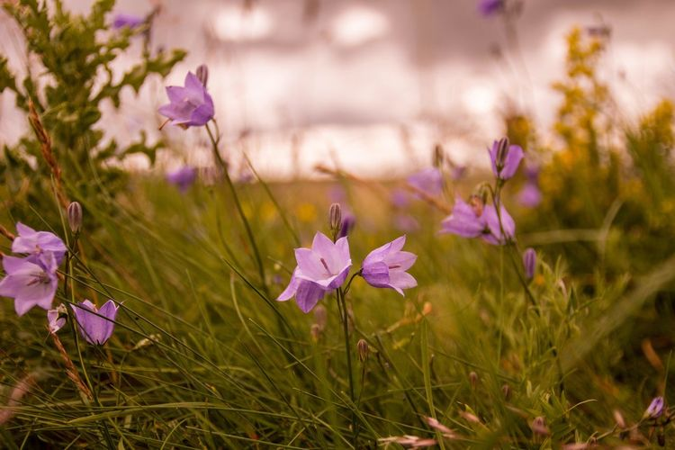 The Great Outdoors - 2017 EyeEm Awards Northern Ireland Flower Purple Nature Petal Field Beauty In Nature Plant Fragility Freshness No People Grass Focus On Foreground Outdoors Blooming Close-up