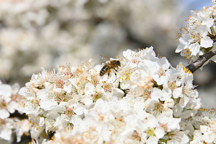 Close up honey bee on white cherry blossom Flower Flowering Plant Animals In The Wild Fragility Animal Themes Insect Animal Wildlife One Animal Freshness Beauty In Nature Vulnerability  Bee Plant Animal Growth White Color Blossom Close-up Petal Springtime Pollination Flower Head No People Cherry Blossom Honey Bee HoneyBee Copy Space Branch Abundance In Bloom Blooming Day Sunshine