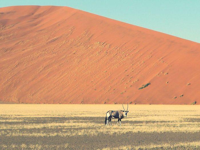 Oryx standing in desert