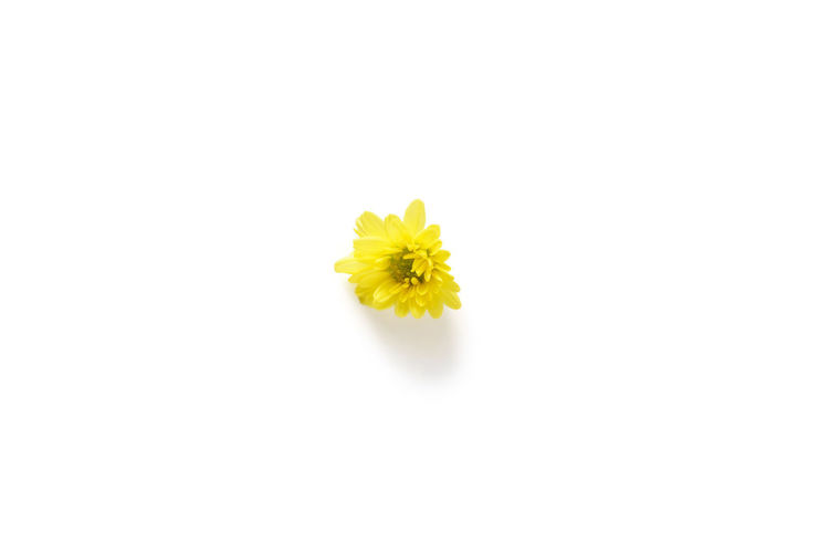 Close-up of yellow flower against white background