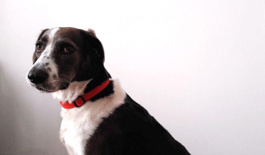 red collar Dog Dogs Of EyeEm DogLove Dog Photography Dog Portrait Pets Dog Beagle White Background Pet Collar Canine Sticking Out Tongue Carnivora Pet Leash