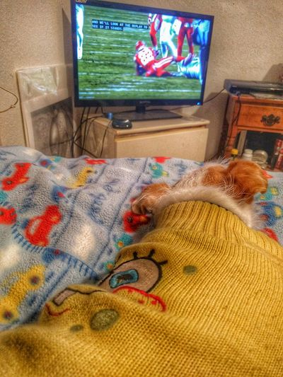 The dog loves K.C. Chiefs also :) Kansas City Chiefs Dogs Multi Colored Indoors  No People Day