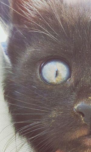 Cats Cat Eyes Blue Eyes Macro Shot