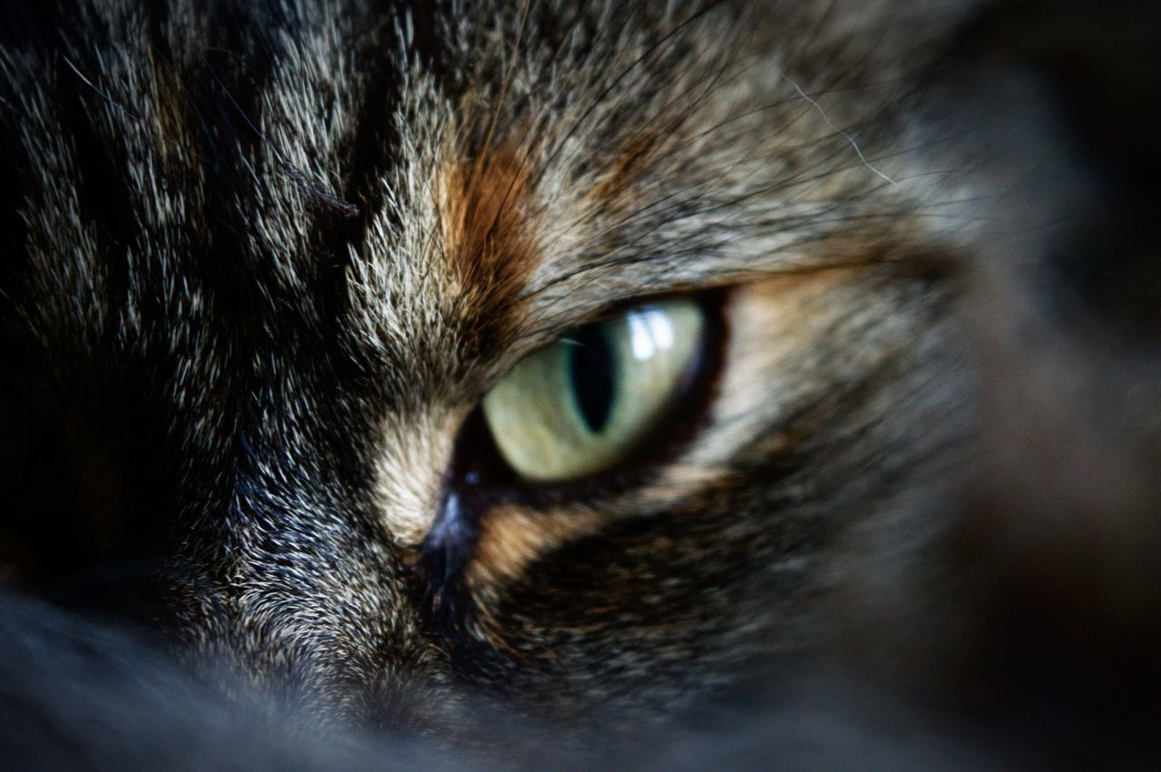 Close-up of eye of cat