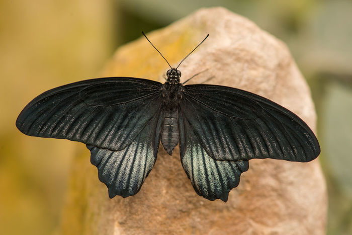 Black butterfly on a rock Animal Antenna Animal Themes Animal Wildlife Animal Wing Animals In The Wild Beauty In Nature Black Butterfly Butterfly Butterfly - Insect Close-up Day Fragility Insect Invertebrate Moth Nature No People One Animal Outdoors Perching Spread Wings