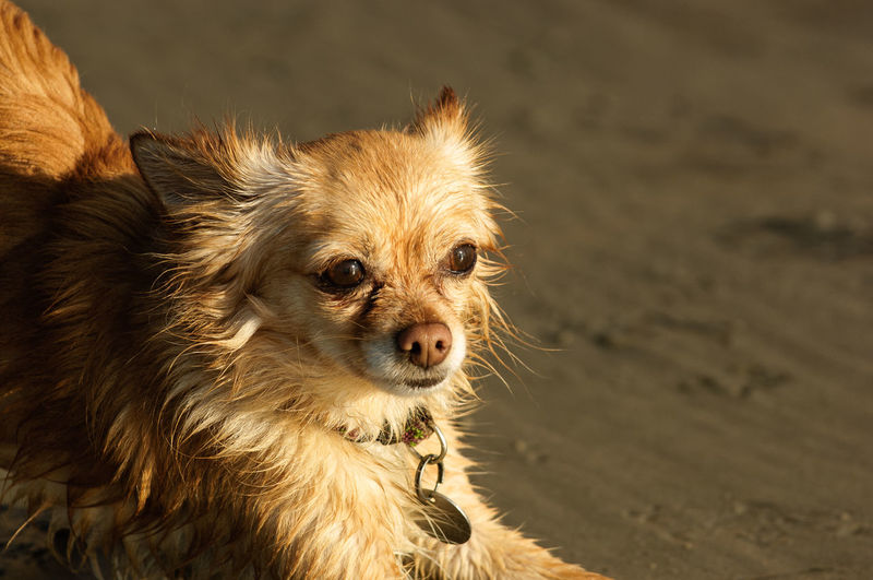 Chihuahua dog outdoor portrait Breed Animal Animal Themes Beach Canine Chihuahua Dog Domestic Animals Longhair No People One Animal Pets Portrait Small Dog