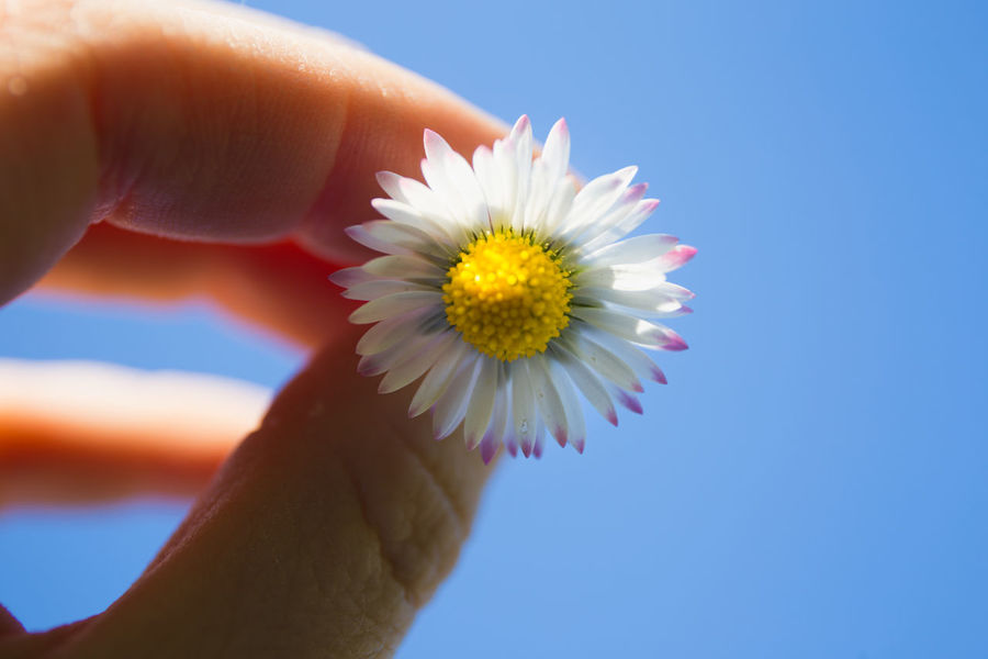 Daisy Daisy Flower Beauty In Nature Bellis Perennis Body Part Close-up Finger Flower Flower Head Flowering Plant Fragility Freshness Hand Holding Human Body Part Human Finger Human Hand One Person Personal Perspective Petal Plant Pollen Real People Unrecognizable Person Vulnerability