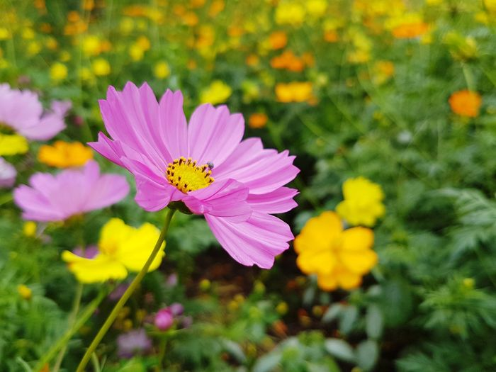 Close up of beautiful pink cosmos blooming Flora Floral Fields Plant Cosmos Garden Botanical Blossom Flower Head Flower Butterfly - Insect Pink Color Insect Petal Perching Close-up Animal Themes Plant Blooming Pollen In Bloom