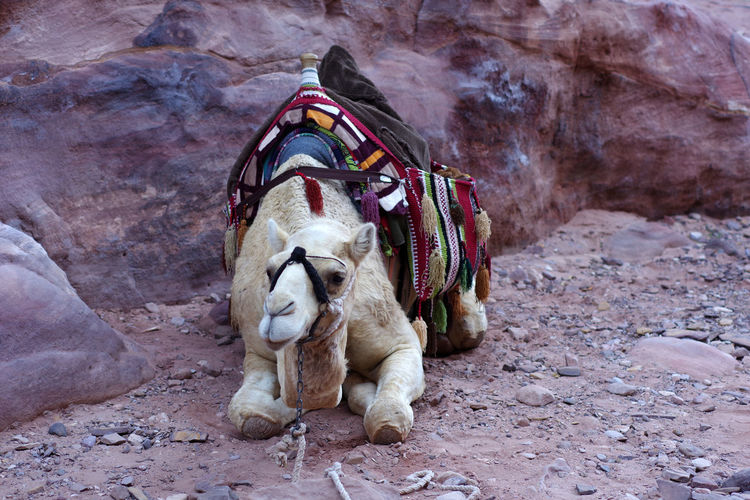 Rear view of camel waiting on rock