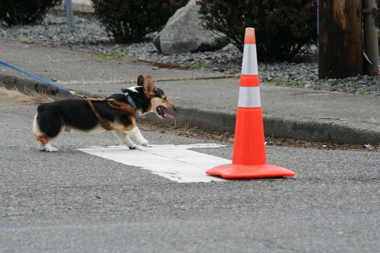 Side view of pembroke welsh corgi by traffic cone on street