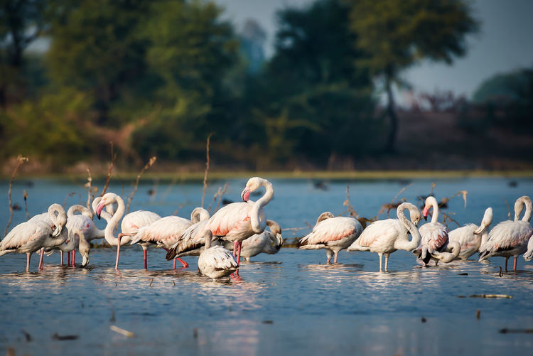 View of lesser flamingos in a lake