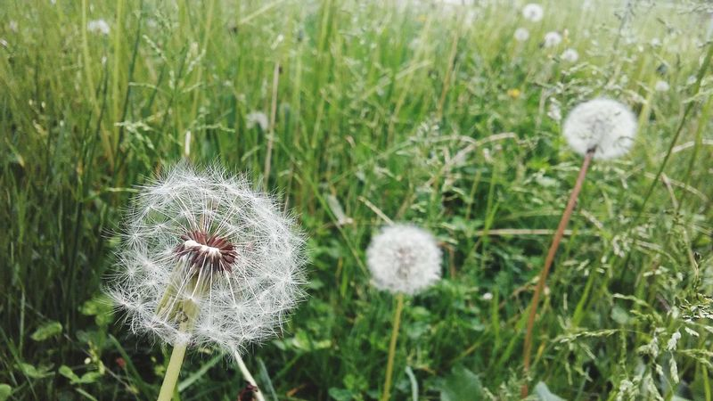 dandalion Flower Head Flower Field Uncultivated Wildflower Close-up Grass Plant Blossom Dandelion In Bloom First Eyeem Photo