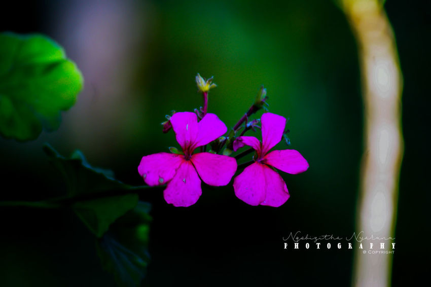 Plant Flower Growth Freshness Beauty In Nature Close-up Flowering Plant Petal Flower Head Pink Color Green Color Pollen