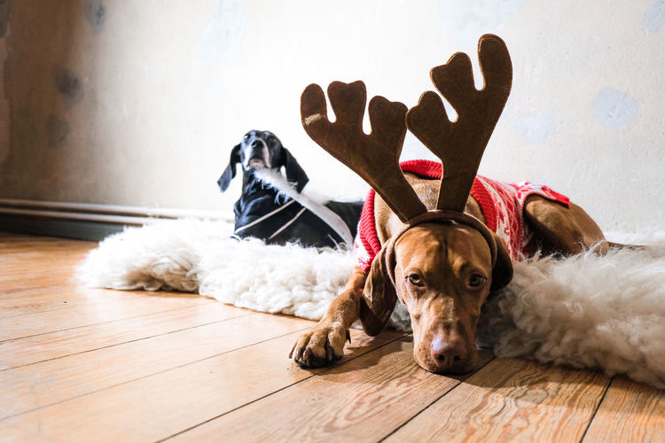OMG ist Christmas again! Dog Pets Domestic Animals Wood Indoors  Flooring Home Interior Lying Down Looking At Camera Christmas Christmas Time Christmas Mood Christmas Holidays Two Dogs Fur Furry Reindeer REINDEER HORNS Cute Christmas Pullover Low Angle View Black Dog Vizsla Magyar Vizsla Vizslaoftheday