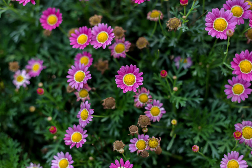 Flowering Plant Flower Freshness Fragility Beauty In Nature Vulnerability  Plant Petal Flower Head Inflorescence Close-up No People Growth Pink Color Nature Day Outdoors Multi Colored Botany Park - Man Made Space Pollen Flowerbed