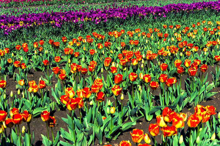 Red and yellow tulips in a field in Woodburn, Oregon Agriculture Bloom Blossom Countryside Farm Field Fields Floral Flower Flowers Garden Green Landscape Nature Oregon Outdoors Plant Rural Scenic Season  Tulip Tulips United States USA Woodburn