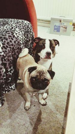 Ilovemydog Dog❤ Dogs Pug Ilovepugs