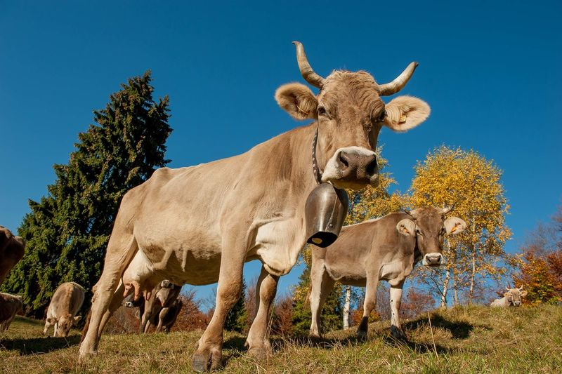 Low angle view of cow on field against clear blue sky