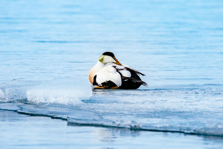 Bird relaxing at frozen jokulsarlon lake