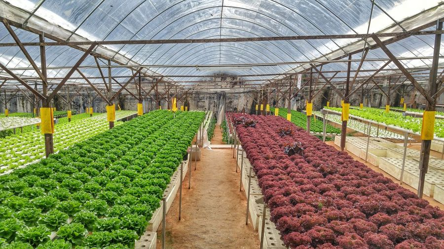 Agriculture tourism cabbage Cabbage Red Green Tourism Agriculture Greenhouse Plant Nursery Agriculture Rural Scene Vegetable Field Sky Plant Grass vanishing point Diminishing Perspective Plant Life Plantation Prepared Food Agricultural Field Parallel EyeEmNewHere