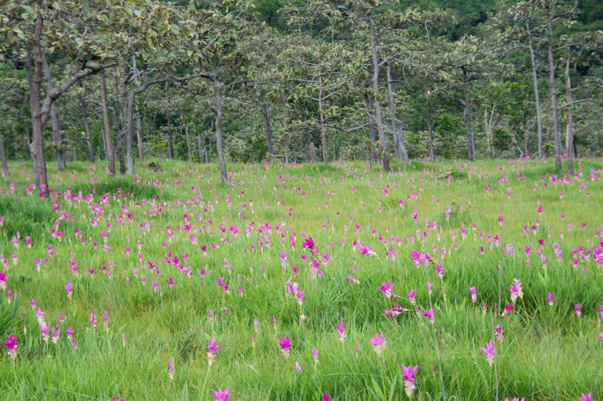 Pink field of Siam tulip at Chaiyaphum Province, Thailand. Beauty In Nature Field Flower Flowerbed Forest Grass Green Color Growth Landscape Lush - Description Multi Colored Nature No People Outdoors Pink Color Plant Rural Scene Scenics Siam Tulip Tranquil Scene Tranquility Travel Destinations Tree Uncultivated Wildflower