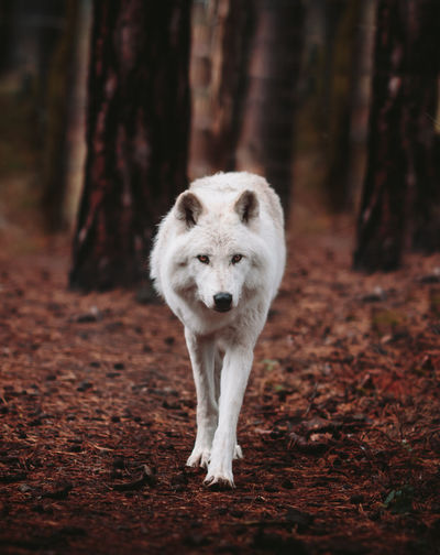 Arctic fox walking in forest