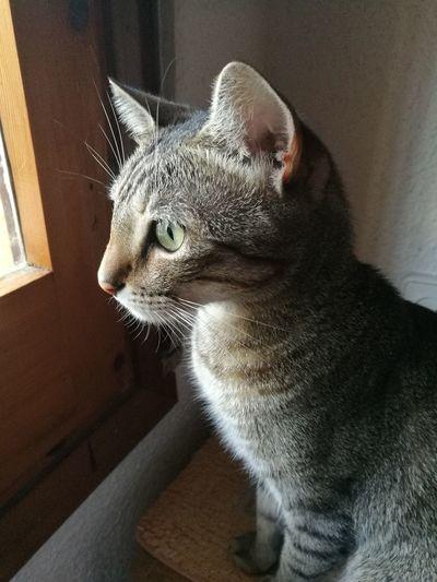 Gato Cat Duma Ventana Window
