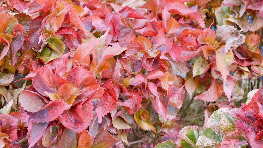 Full Frame Backgrounds Close-up Day No People Leaf Abundance Plant Part Nature Beauty In Nature Leaves Plant High Angle View Natural Pattern Growth Outdoors Change Autumn Pink Color Large Group Of Objects