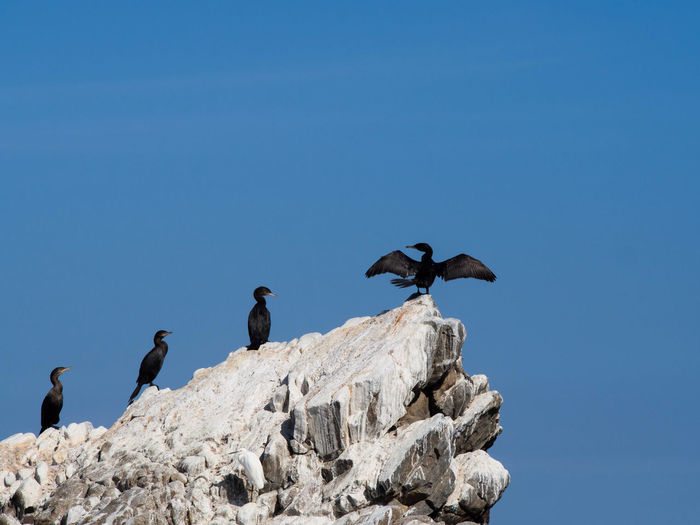 Low angle view of cormorants on rock against clear blue sky