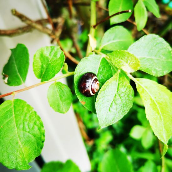 Snail on leaf Lush Foliage Lush Greenery Spring Leaf Insect Close-up Animal Themes Plant Green Color Shell Snail