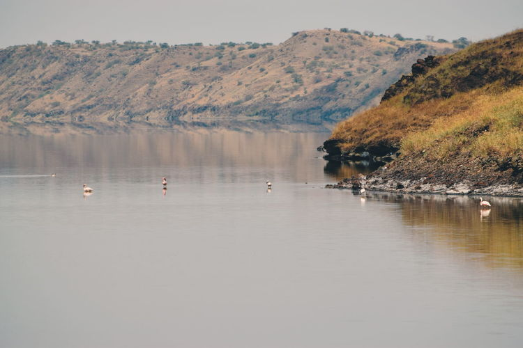 Flamingos in little magadi against a mountain background, lake magadi, kenya