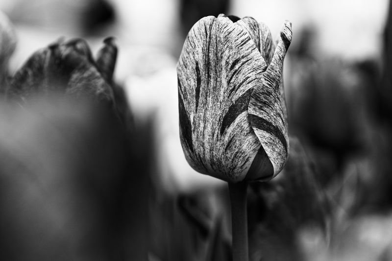White tulip with red details in black and white. Taken at Tulp Festival 2017 in Amsterdam, the Netherlands. Black And White Blackandwhite Bloom Blooming Bokeh Bulb Close-up Contrast Flora Flower Freshness Holland Nature Netherlands Outdoors Petal Plant Season  Shallow Depth Of Field Spring Springtime Tulip Tulipa Tulips Tulp Festival