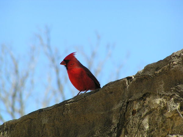 red bird Nature Sky Beauty In Nature Outdoors Birds Wildlife Birds Lover Red Bird Texas Skies