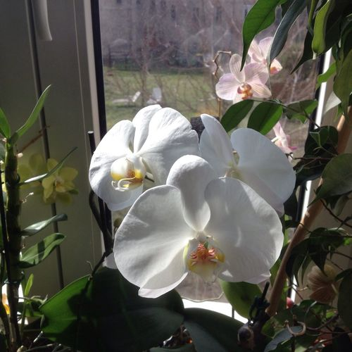 Orchid Orchidee