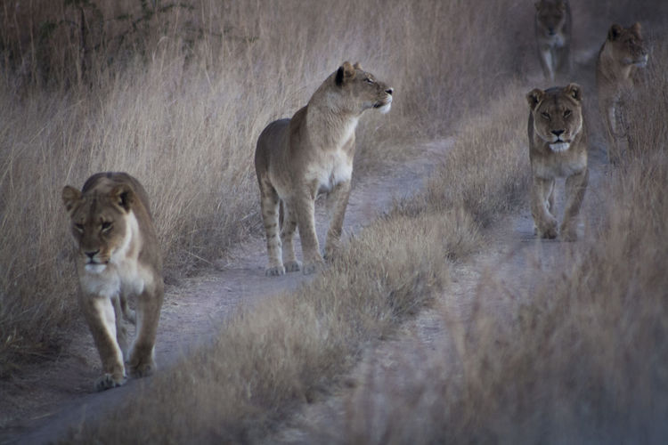Group of lions walking