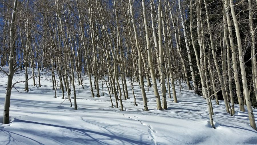 Low angle view of aspen trees on snow covered field