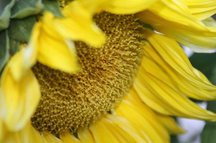 Sunflower Macro yellow